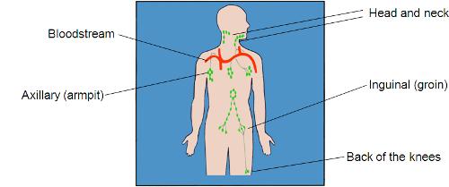 Diagram of lymph nodes